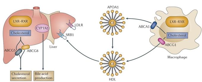 肝脏x受体的活化抑制细胞外胆固醇的摄取